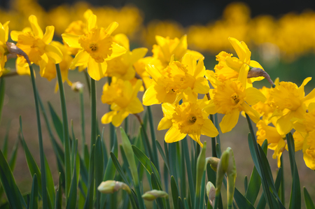 Yellow blooming daffodils in a row; Yellow spring flowers; Spring beginning; Easter greetings; Narcissus pseudonarcissus