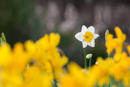 One daffodil with white petals and yellow central corona in focus behind blurry yellow daffodils; Flowers in spring garden; Spring greetings