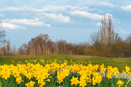 Park area with yellow blooming daffodils, lawn and leafless trees under cloudy light blue sky; Spring landscape; Spring beginning; Local recreation area with spring flowers and deciduous trees Stock Photo