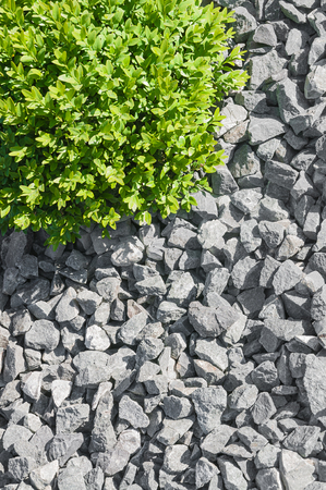 Gray, fine garden gravel and small spherical box in sunlight - top view; Modern garden design; Weed control with natural ground covering; Gravel bed with evergreen ornamental plant