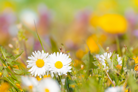 Colorful flower meadow in closeup with two daisies in focus and dandelion in background
