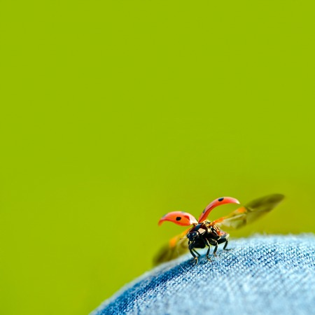 Ladybug on jeans with opened wings against green background; Ready for take off; coccinellidae; Lady beetle Standard-Bild