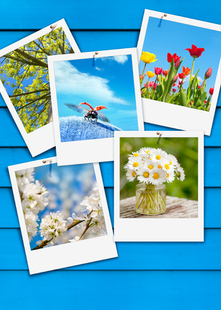 Blue wooden wall with five instant pictures with springtime motifs; Photos of tulips, daisies, ladybug and trees pinned on blue wooden background; Spring motifs; Spring messengers; Spring greetings