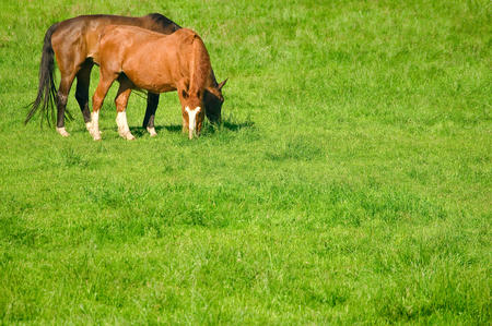 Two brown horses on a pasture; Riding animals; Horse breeding
