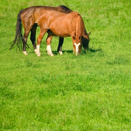 Grazing horses on pasture; Horse breeding; Riding animals; Horse ranch