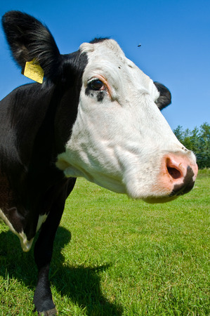 Curious black and white cow in nature on pasture on sunny day; Livestock; Cow head with ear tag