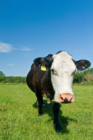 Black and white cow on green pasture on blue sunny day - front view; Economically useful animal; Cattle breeding