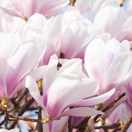 Magnolia blossoms in closeup; Pink-white blossoms of ornamental tree; Happy Easter