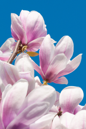 Beautiful pink-white blossoms of a magnolia tree in sunlight against clear blue sky; Spring blossoms; Early blossoming ornamental tree