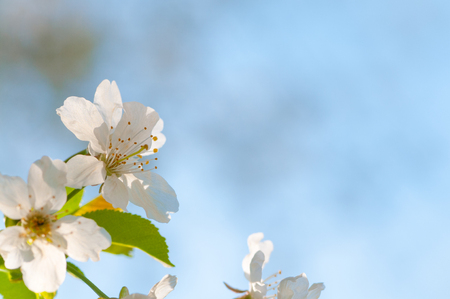 Tender cherry blossoms in closeup against blurry blue background; Spring awakening; White fruit tree blossoms in sunlight; Spring motif