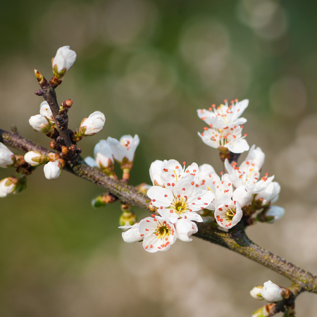 Blackthorn twigs with white blossoms against blurred background - square format; White flowers of thorny shrub in closeup Imagens