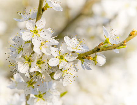 White blackthorn blossoms in closeup; Flowering branch of thorny shrub in springtime; Spring mood
