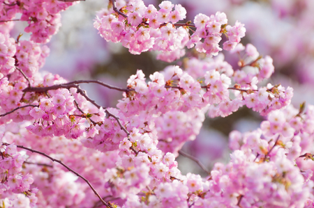 Tender blossoms of ornamental cherry tree in sunshine in closeup; Flowering fruit tree; Spring fever