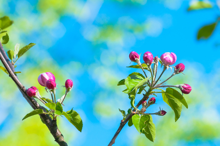 Branch of fruit tree with magenta flower buds against blurry blue background; Spring beginning; Closed flowers of tree; Spring motif
