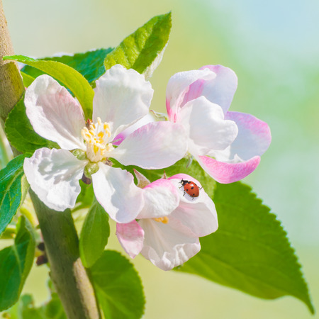 Red lady beetle on fruit tree blossoms in sunshine; Coccinellidae in white tree blossom; Spring awakening Stock Photo