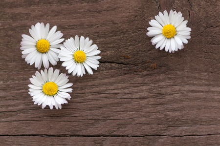 Four daisy blossoms on dark brown wooden background; Bellis perennis; Lawn daisies in top view on wooden board; Spring greetings Standard-Bild - 102593276