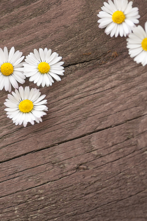 White blossoms on grunge wooden background; Bellis perennis; Daisy blossoms on dark brown wooden board in top view and upright format
