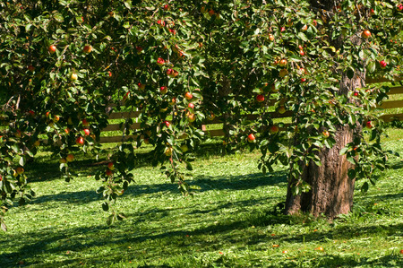 Red and yellow apples on a tree; Meadow orchard with apple tree full of ripe fruits; Fruit growing; Apple harvest Standard-Bild