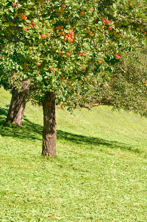 Apple trees with ripe fruits on meadow in sunshine; Fruit orchard in late summer; Apple harvest