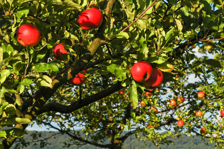 Juicy red apples in sunlight on apple tree; Fruit growing; Domestic and untreated healthy fruits