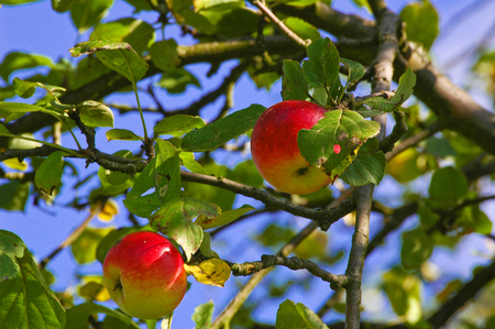 Ripe, red-yellow apples in a tree against blue sky; Fruit harvest; Thanksgiving; Juicy and healthy fruits