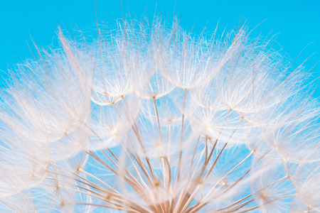 Seed head of meadow goatsbeard against blue sky; Tender pappus of Tragopogon pratensis seeds; Blowball in closeup Imagens