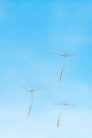Three feathery seeds of blowball against blue sky; Three wishes; Symbol of lightness Stock Photo