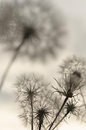 Monochrome picture of goatsbeard pappus; Fluffy seed heads of Tragopogon pratensis; Seed dispersal; Reproduction of wild flowers; Ease and lightness