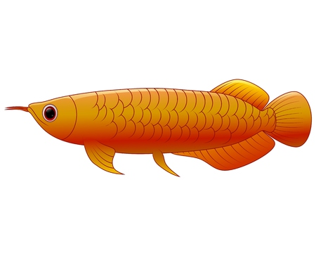 arowana: Arowana fish on white background