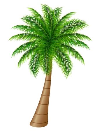 sturdy: Palm tree on a white background Illustration