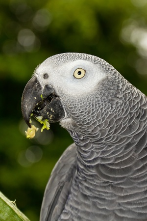 African Grey Parrot Head very close up shot photo