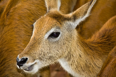 close up   head: Female Red Deer close up head only.