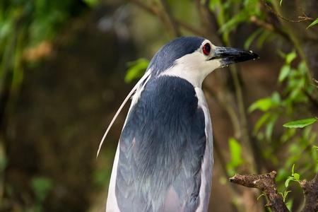 Black-crowned Night Heron Back site shot Stock Photo - 9639719