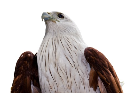 Eagle Isolated in white back ground shot from downside photo
