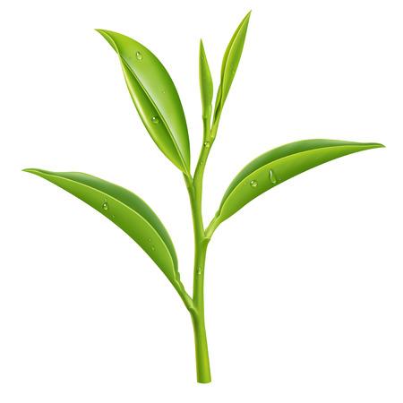 Green tea illustration, digital painting