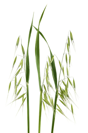 Green wild oats isolated on white background
