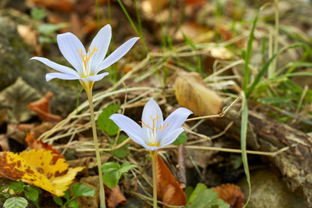 Crocus flowers among yellow leaves in forest, full frame