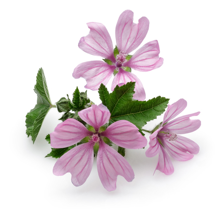 Mallow plant with flowers and leaves isolated on white background 스톡 콘텐츠