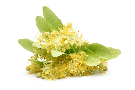 Fresh linden flowers and leaves isolated on white background
