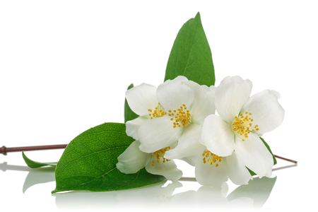 White jasmine flowers with green leaves on white background