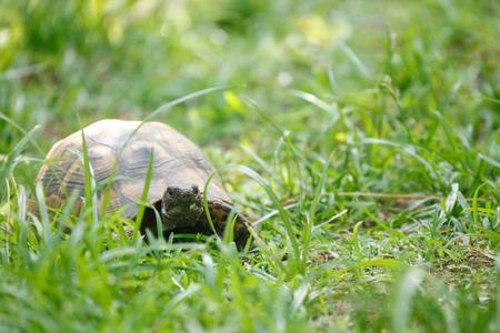 Tortoise eating fresh leaf on the grass Imagens