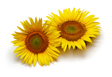 Two sunflowers isolated on white background Фото со стока