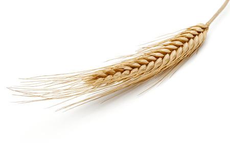 Espiga de trigo amarillo aislado sobre fondo blanco.