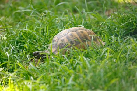 Tortoise eating fresh leaf on the green grass 免版税图像