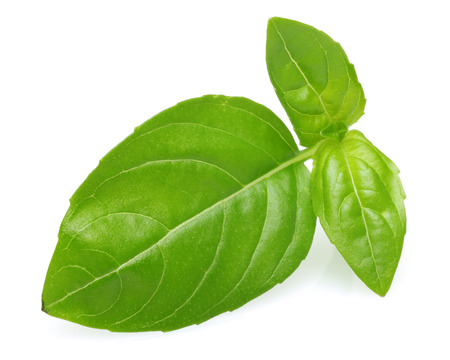 Branch of green basil leaves isolated on white background 写真素材 - 122220423