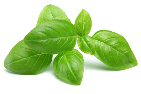 Branch of green basil leaves isolated on white background 写真素材 - 122220424