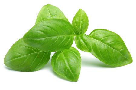 Zweig der grünen Basilikumblätter isoliert auf weißem Hintergrund