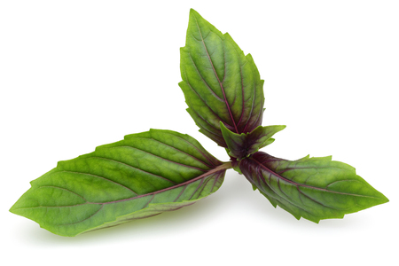 Branch of green and purple basil leaves isolated on white background