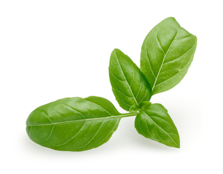 Branch of green basil leaves isolated on white background 写真素材 - 122220498