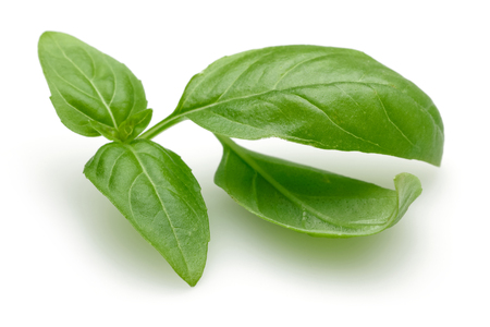 Branch of green basil leaves isolated on white background 写真素材 - 122220499
